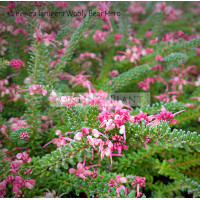 Grevillea lanigera Woolly Bear Hero