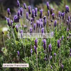 Lavender Dentata Frenchette