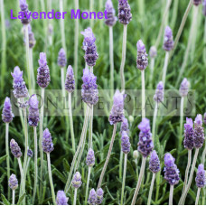 Lavender Monet