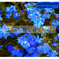 Lechenaultia Midnight Blue