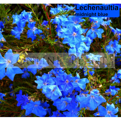 Lechenaultia Midnight Blue