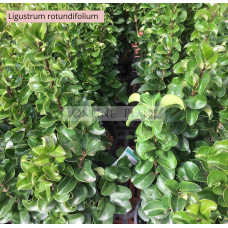 Ligustrum Rotundifolium Japanese Privet