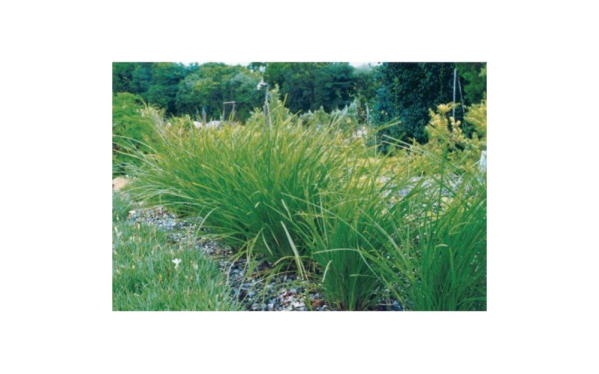 Bush Survival Plant - Lomandra Longifolia