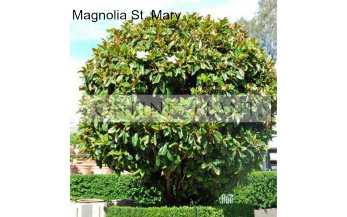 How To Grow And Take Care Of Magnolia Plants