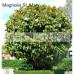 Magnolia Grandiflora St Mary