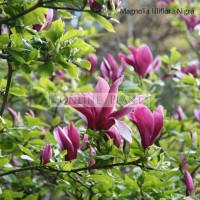 Magnolia Lilliflora Nigra