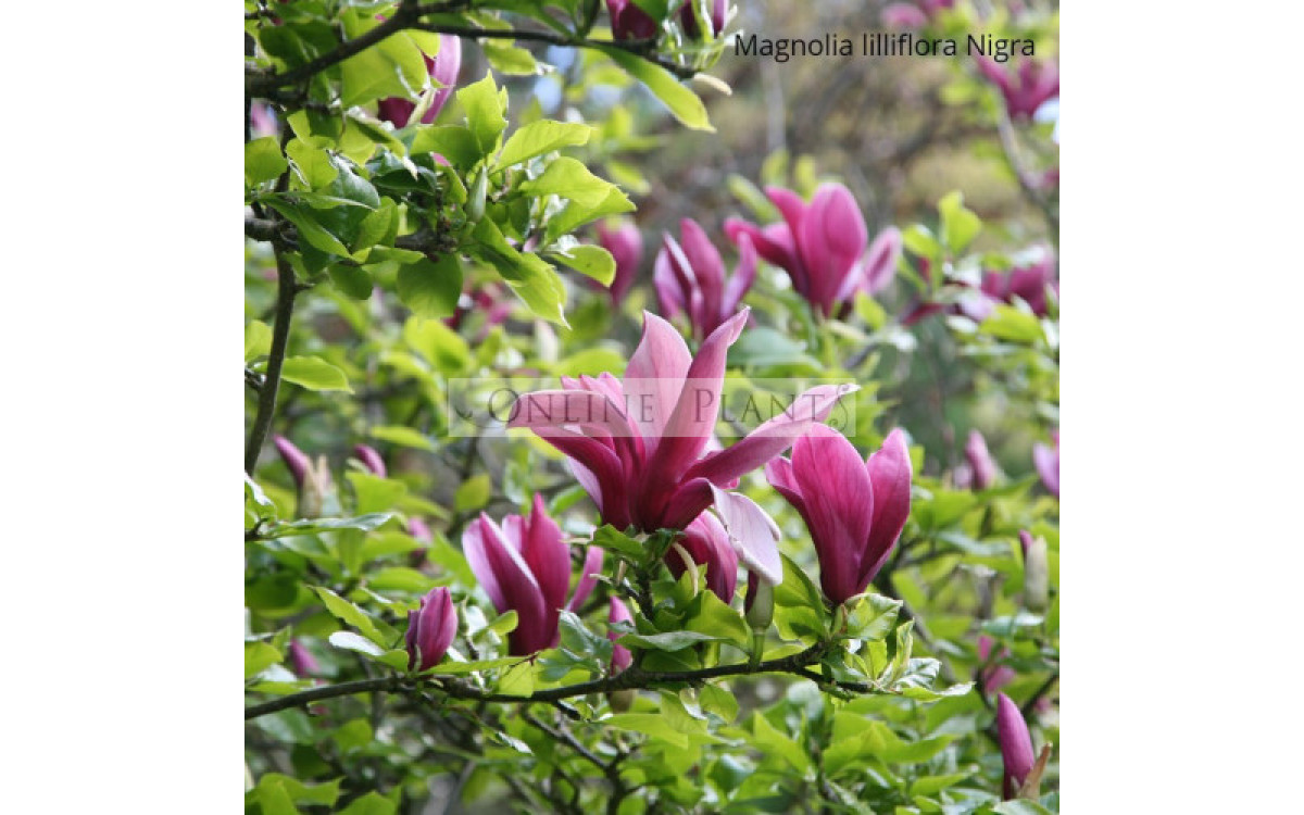 Magnolias Are A True Celebration In Every Home Garden