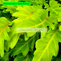 Philodendron Gold Bullion