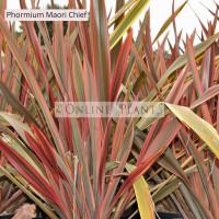 Phormium Flax Maori Chief