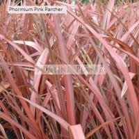 Phormium Flax Pink Panther