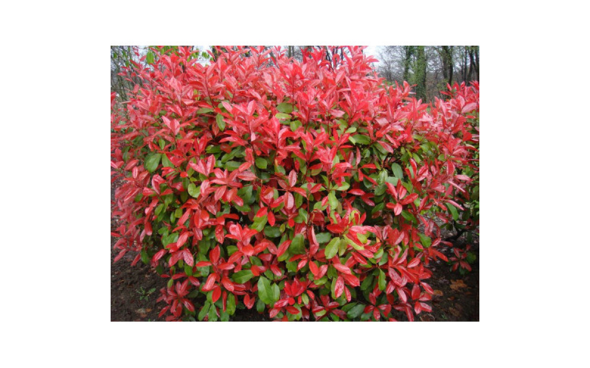 Red Tips Photinia CPR