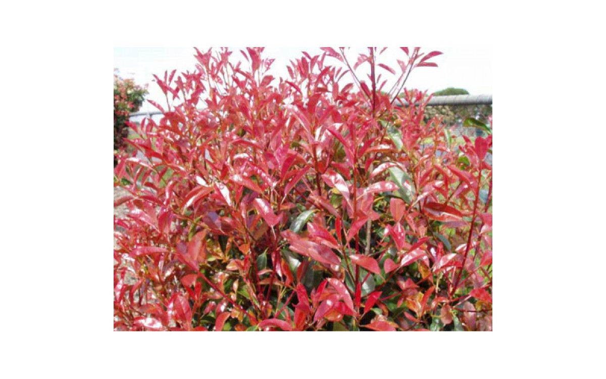 A Brilliant Summer Border Shrub - Photinia Glabra Rubens
