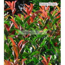 Photinia x fraseri 'NP01' Thin Red™  PBR
