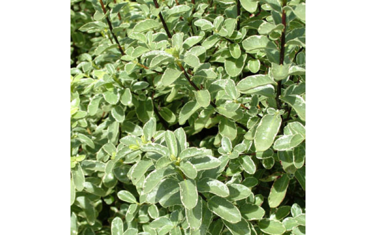 Is Pittosporum The Right Plant For Your Garden? – Read To Find Out