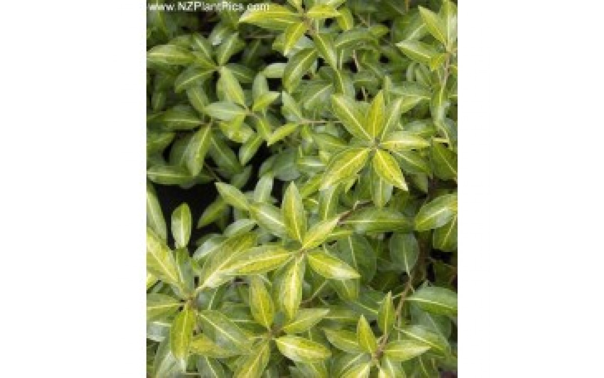 Looking For A Plant That Helps With Hedging & Privacy? - Pittosporum Is The Best!