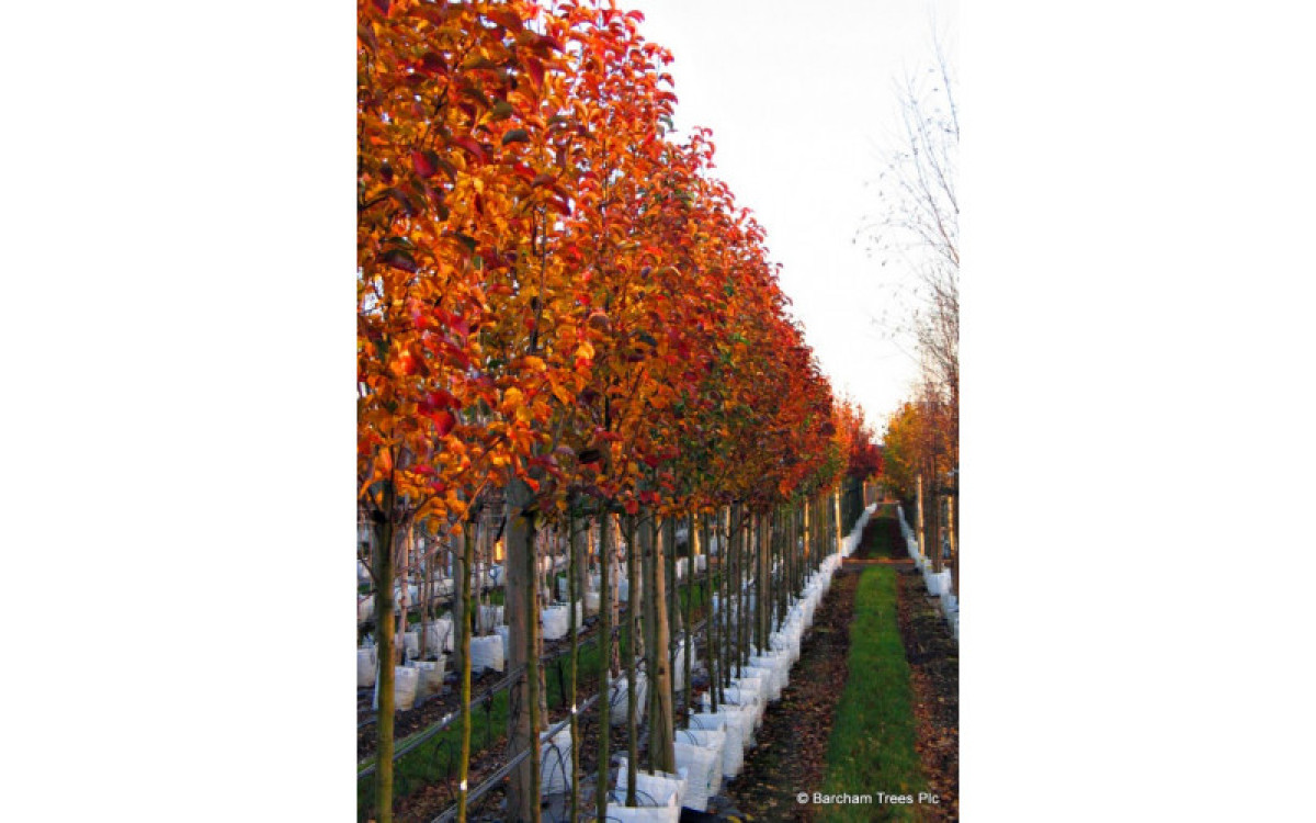 Bring BeautyTo Your Landscape With The Popular Varieties Of Ornamental Pear Trees