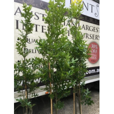 Quercus palutrus Pringreen
