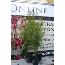 Acacia cognata Bower Wattle