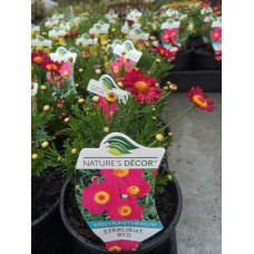 Argyanthemum Starlight Red daisy