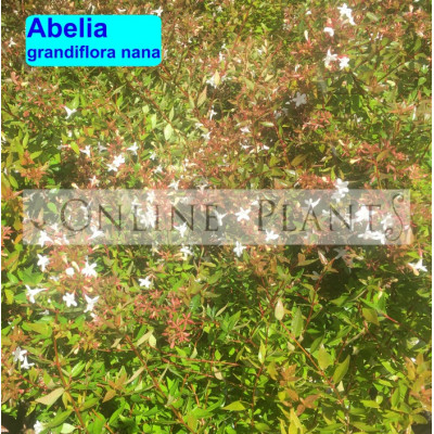 Abelia glossy abelia