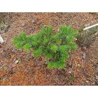 Abies Greek Fir
