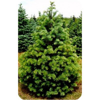 Abies  Colorado White Fir