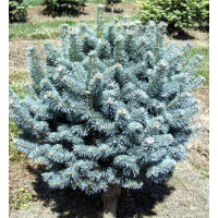 Abies Mountain Fir