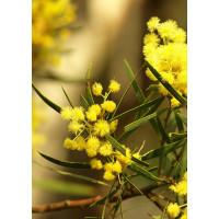Acacia Flinders Range Wattle