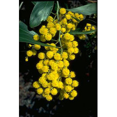 Acacia Pycnantha, Golden Wattle