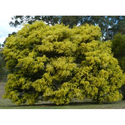 Acacia fimbriata, Fringed Wattle