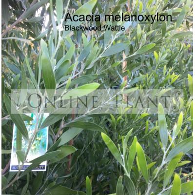Acacia Melanoxylon Australian Blackwood