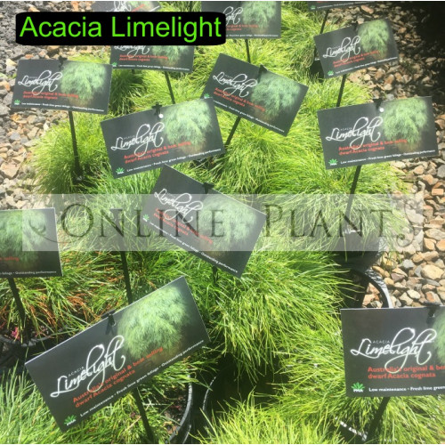 Acacia Limelight For Sale Online Plants Australia