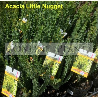 Acacia Little Nugget