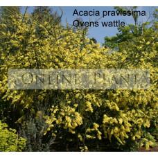 Acacia Pravissima, Ovens Wattle