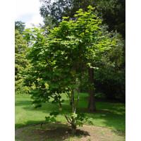 Acer japonicum Vitifolium, Full Moon Maple