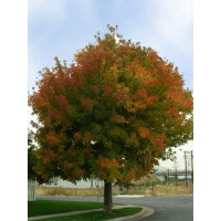 Acer negundo, Sensation, Box Elder Maple