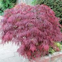 Acer palmatum Atropurpureum, Japanese Maple