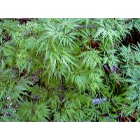 Acer palmatum Dissectum Seiryu, Cutleaf Jap. Maple