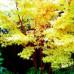 Acer palmatum senkaki, Coral Bark Tree