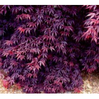 Acer palmatum, Bloodgood Japanese Maple