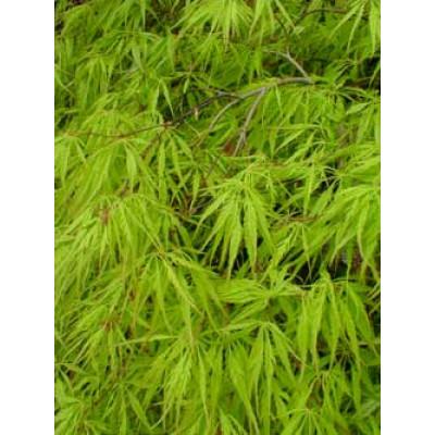 Acer palmatum, Dissectum Viridis