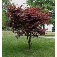 Acer palmatum, Japanese Maple