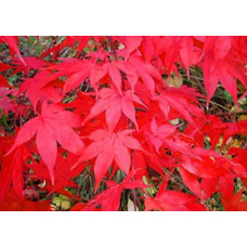 Acer palmatum, Osakazuki Japanese Maple