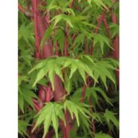 Acer palmatum, Sango Kaku Jap. Maple