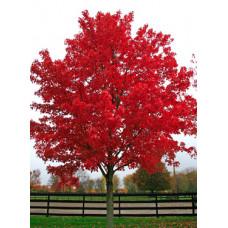 Acer rubrum, October Glory Maple