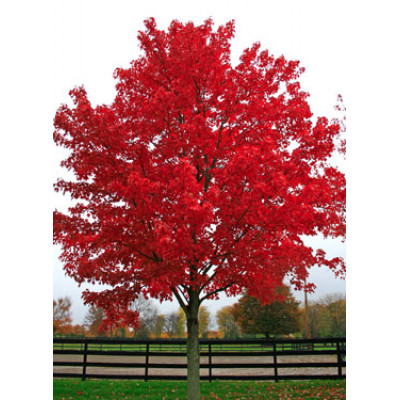 Acer rubrum, October Glory Maple