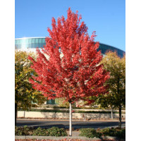 Acer x freemanii, Jeffersred Maple