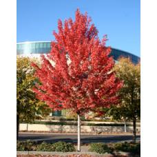 Acer x freemanii, Jeffersred Maple