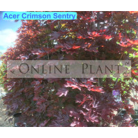 Acer platanoides, Crimson Sentry Maple