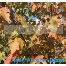 Acer Autumn Blaze Maple